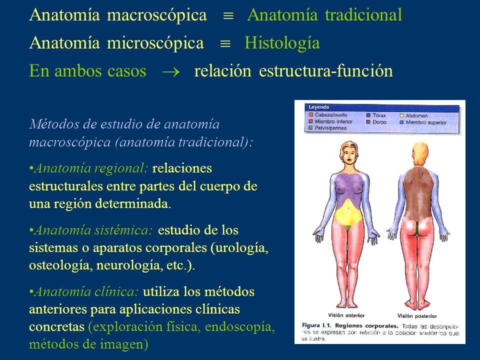 Anatomía macroscópica  Anatomía tradicional