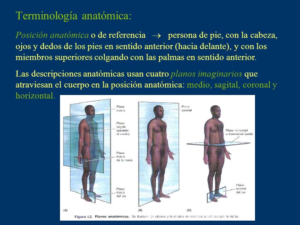 Terminología anatómica: