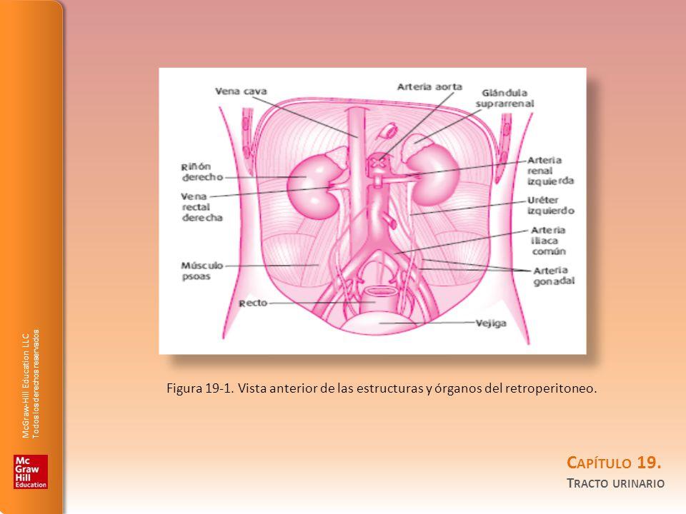 Figura 19-1. Vista anterior de las estructuras y órganos del retroperitoneo.