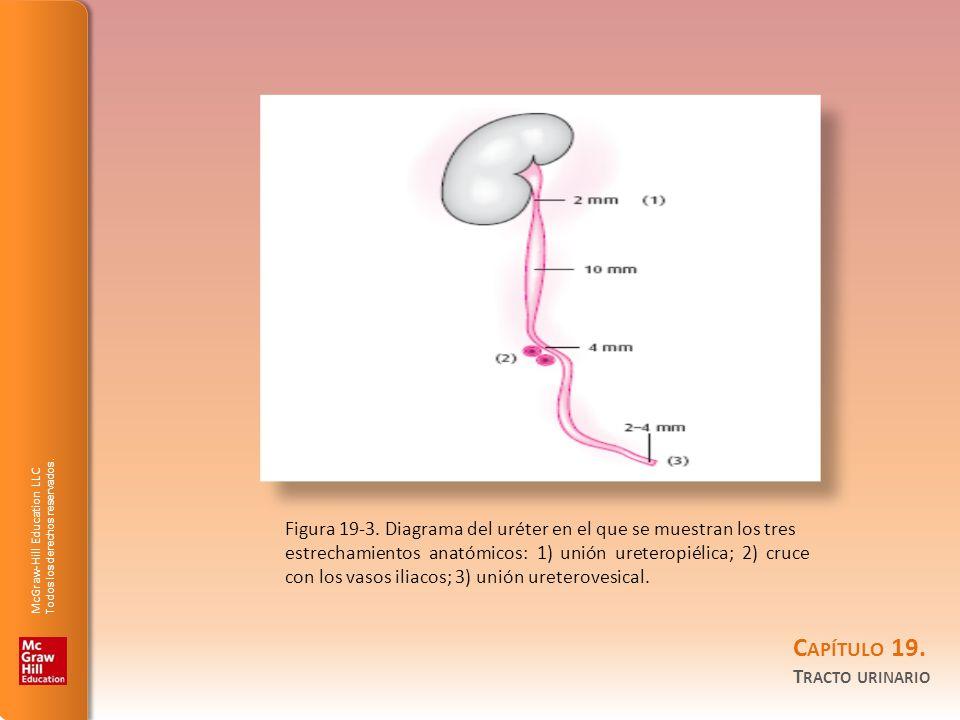 Figura 19-3. Diagrama del uréter en el que se muestran los tres