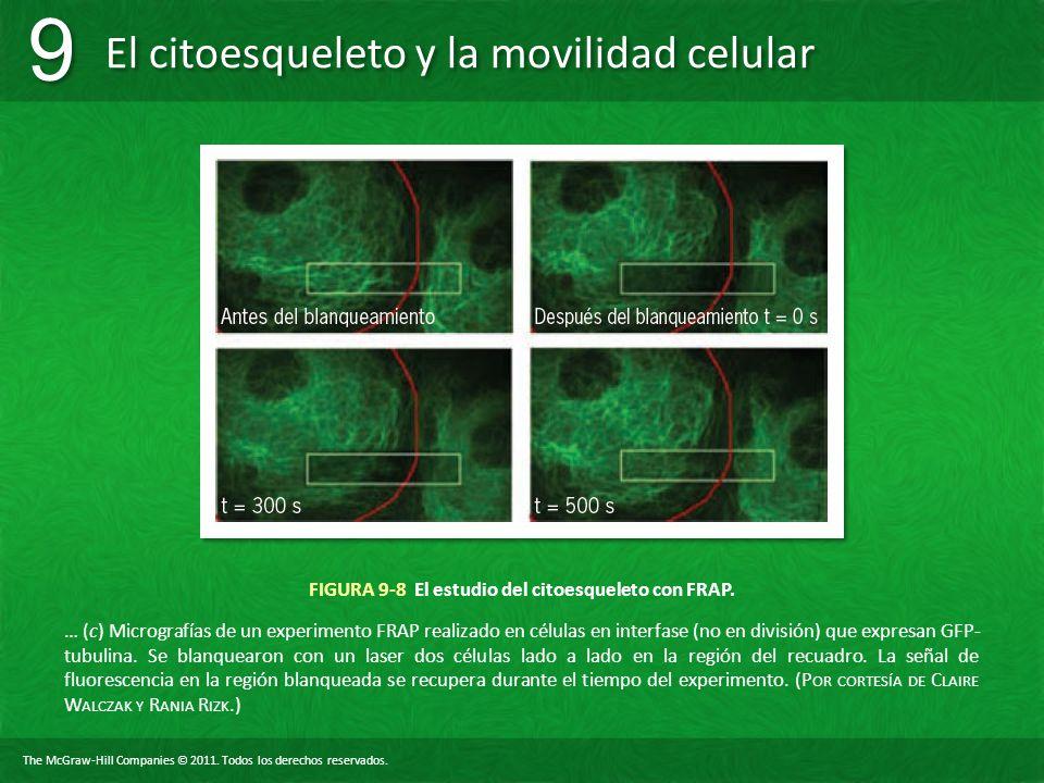 FIGURA 9-8 El estudio del citoesqueleto con FRAP.