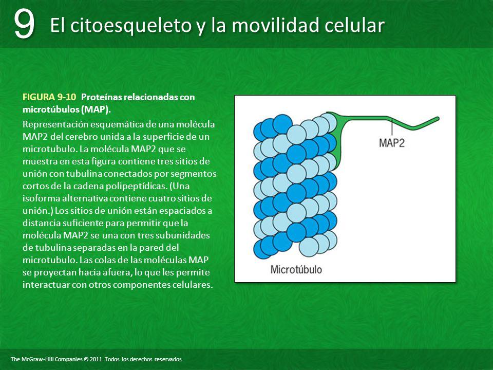 FIGURA 9-10 Proteínas relacionadas con microtúbulos (MAP).