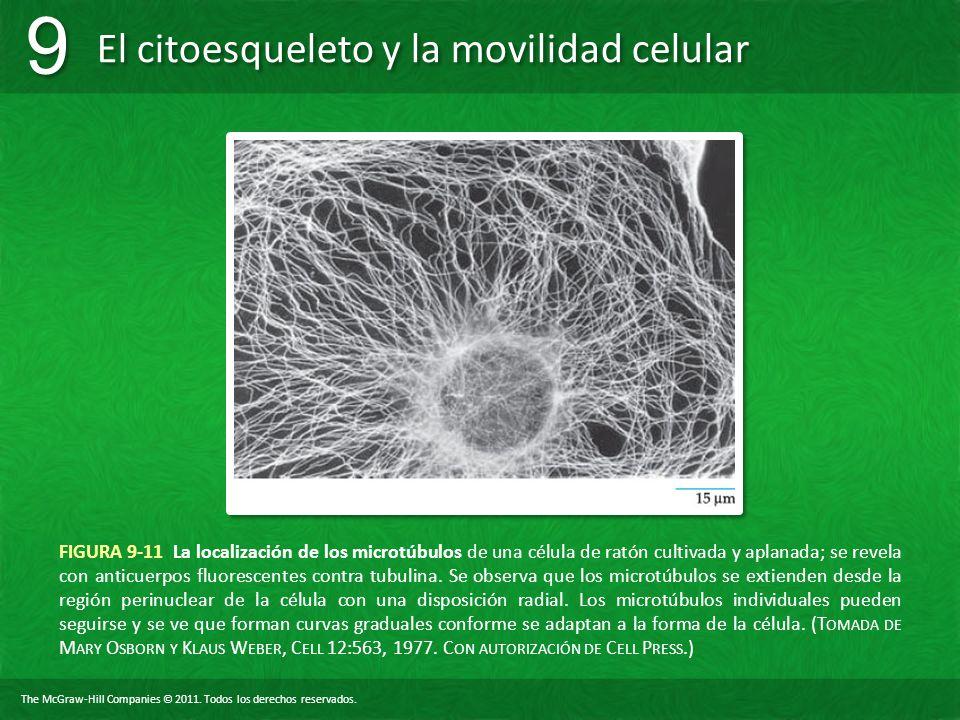 FIGURA 9-11 La localización de los microtúbulos