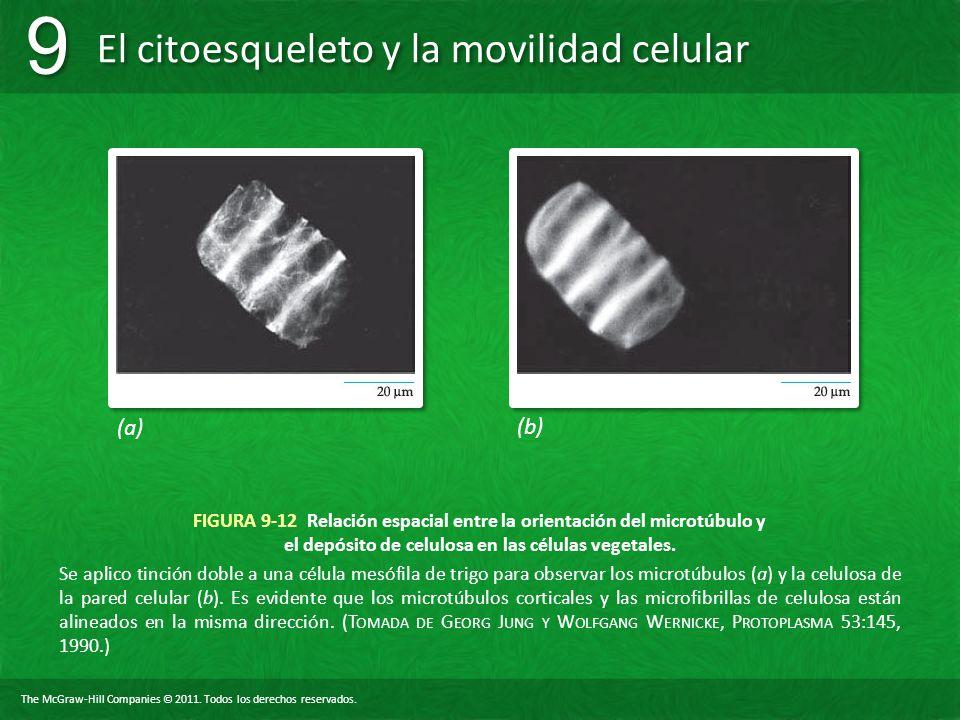 (a) (b) FIGURA 9-12 Relación espacial entre la orientación del microtúbulo y el depósito de celulosa en las células vegetales.