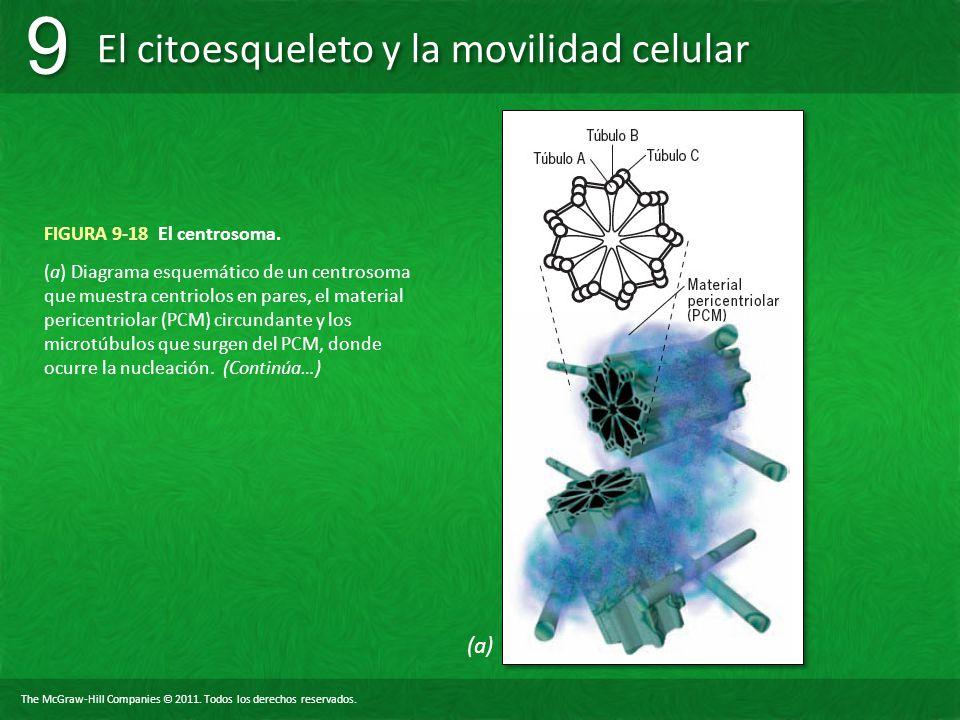 (a) FIGURA 9-18 El centrosoma.