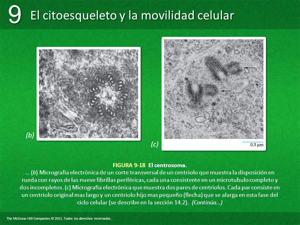 (b) (c) FIGURA 9-18 El centrosoma.