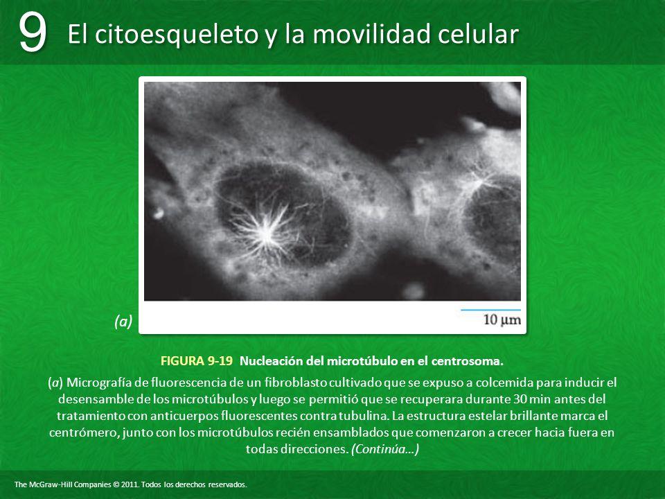 FIGURA 9-19 Nucleación del microtúbulo en el centrosoma.