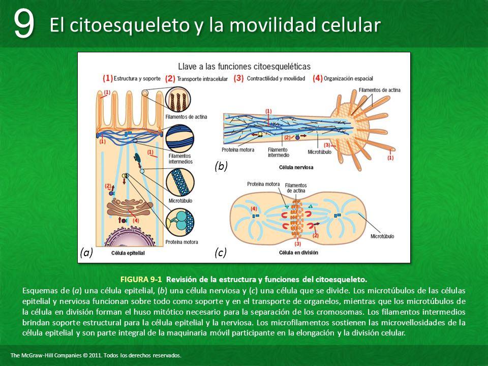 FIGURA 9-1 Revisión de la estructura y funciones del citoesqueleto.