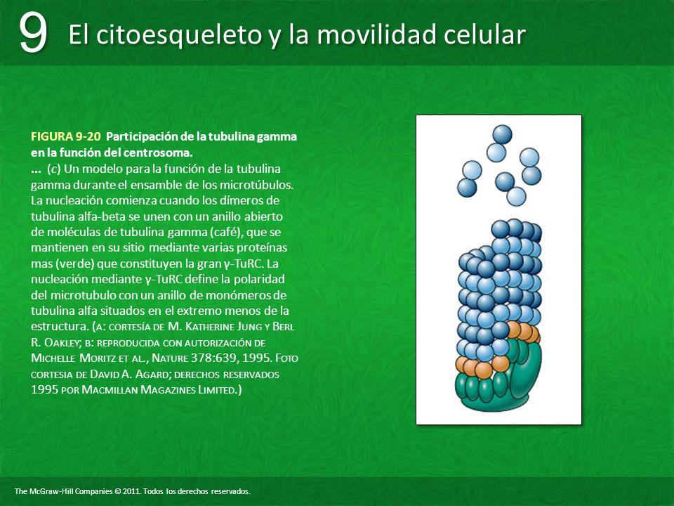 FIGURA 9-20 Participación de la tubulina gamma en la función del centrosoma.
