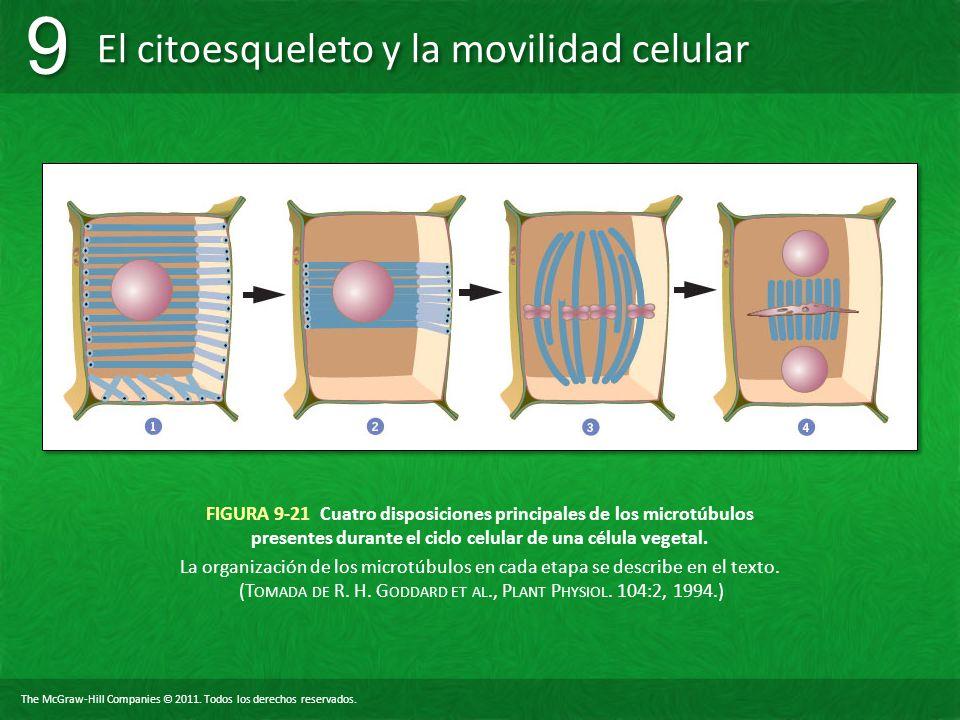 FIGURA 9-21 Cuatro disposiciones principales de los microtúbulos presentes durante el ciclo celular de una célula vegetal.
