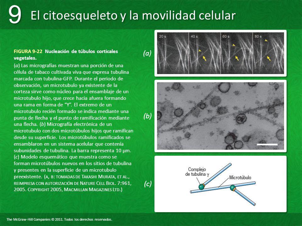 FIGURA 9-22 Nucleación de túbulos corticales vegetales.