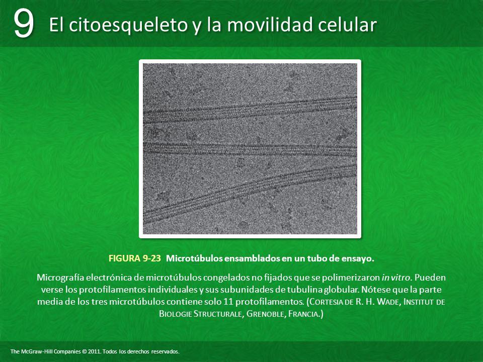 FIGURA 9-23 Microtúbulos ensamblados en un tubo de ensayo.