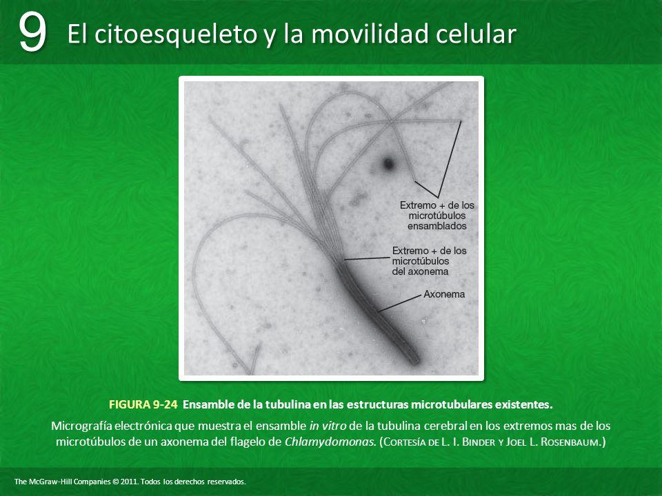FIGURA 9-24 Ensamble de la tubulina en las estructuras microtubulares existentes.