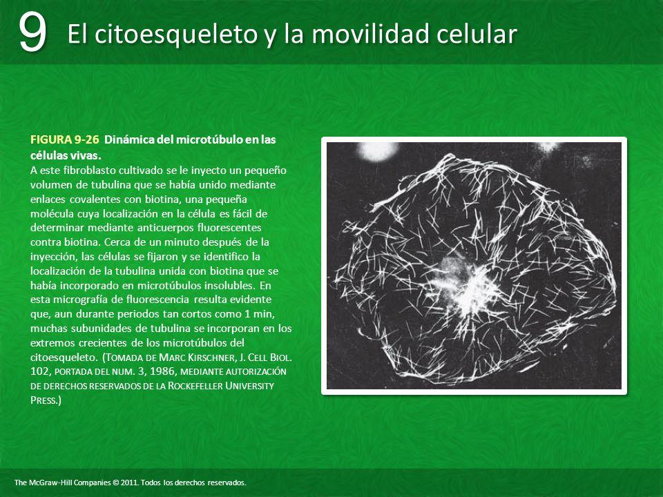 FIGURA 9-26 Dinámica del microtúbulo en las células vivas.