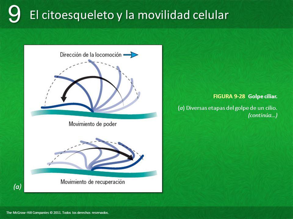 (a) Diversas etapas del golpe de un cilio. (continúa…)