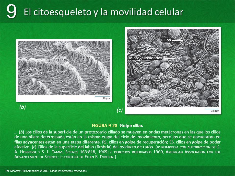 (b) (c) FIGURA 9-28 Golpe ciliar.