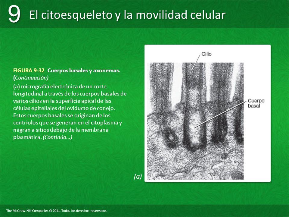 FIGURA 9-32 Cuerpos basales y axonemas. (Continuación)