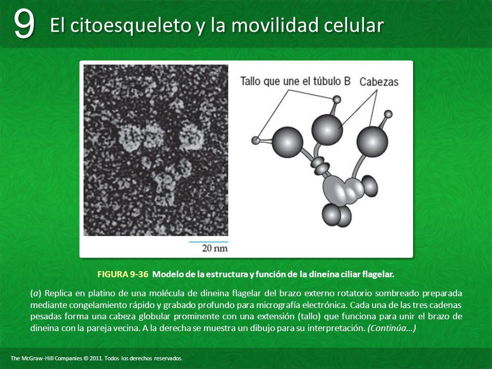 FIGURA 9-36 Modelo de la estructura y función de la dineína ciliar flagelar.