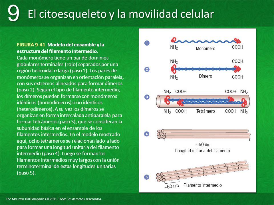 FIGURA 9-41 Modelo del ensamble y la estructura del filamento intermedio.