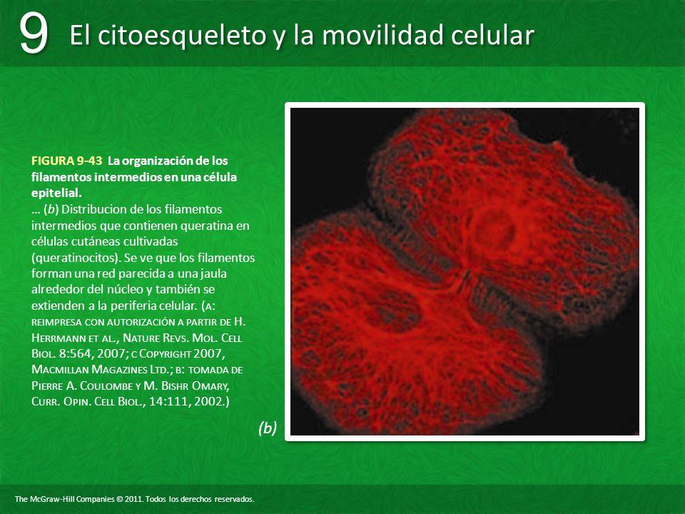 FIGURA 9-43 La organización de los filamentos intermedios en una célula epitelial.