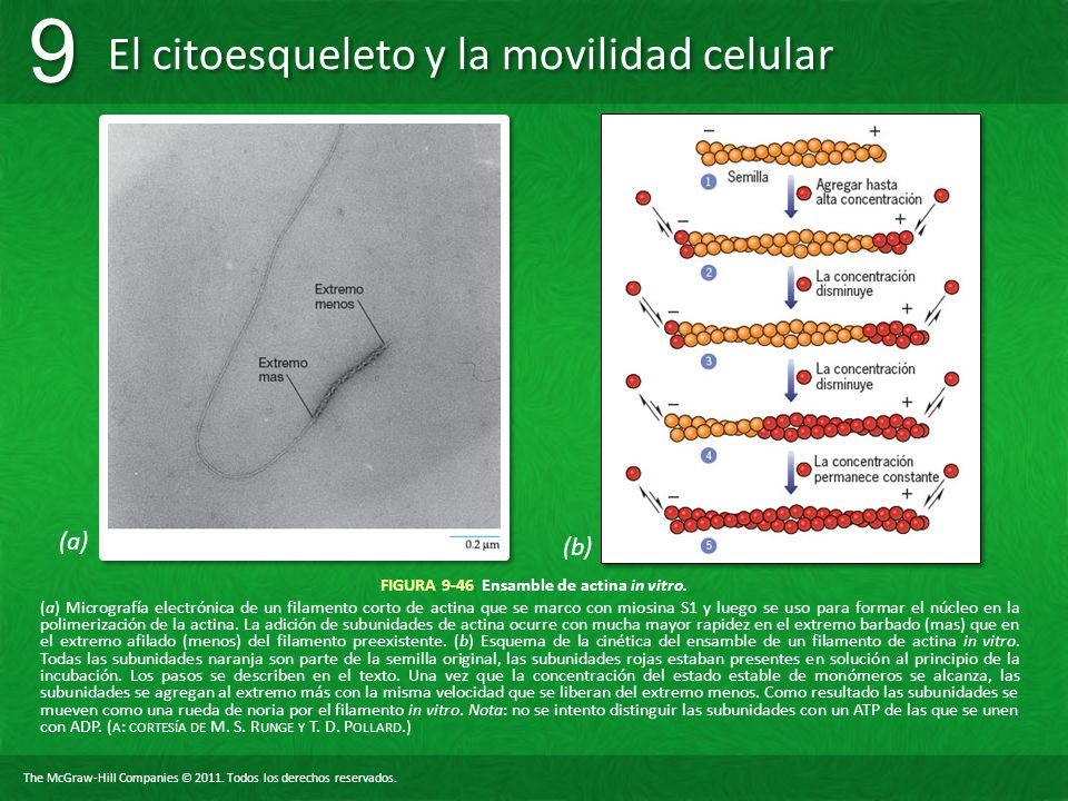 FIGURA 9-46 Ensamble de actina in vitro.