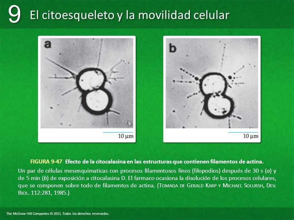 FIGURA 9-47 Efecto de la citocalasina en las estructuras que contienen filamentos de actina.