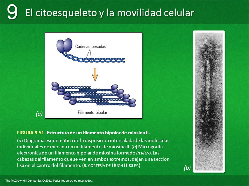 FIGURA 9-51 Estructura de un filamento bipolar de miosina II.