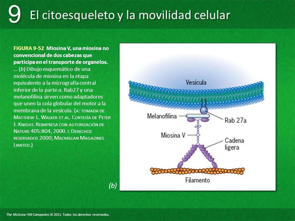 FIGURA 9-52 Miosina V, una miosina no convencional de dos cabezas que participa en el transporte de organelos.