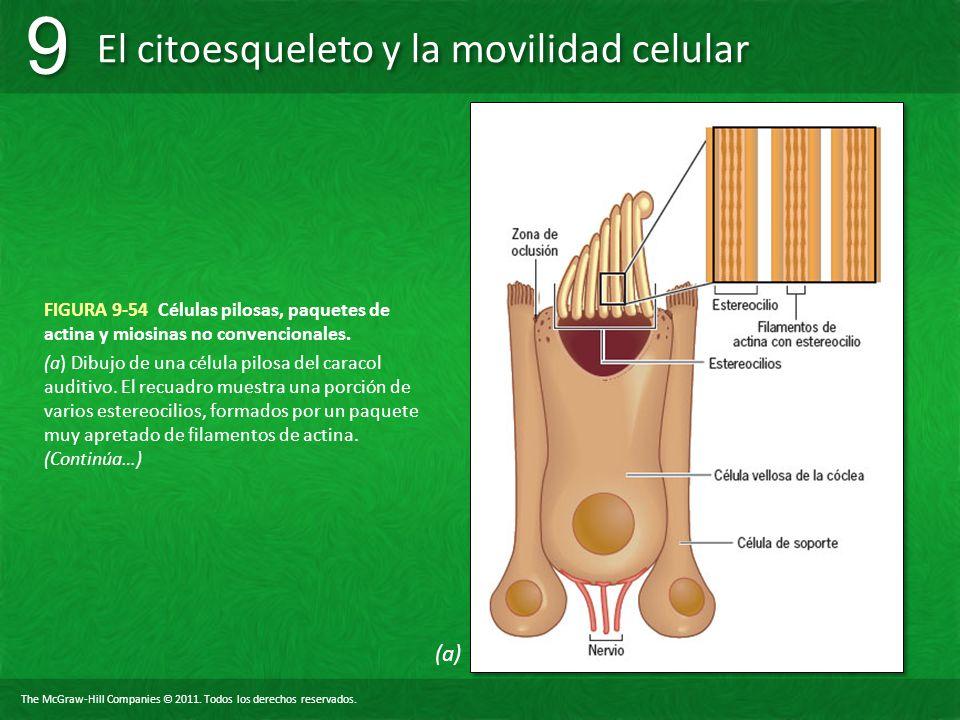 FIGURA 9-54 Células pilosas, paquetes de actina y miosinas no convencionales.
