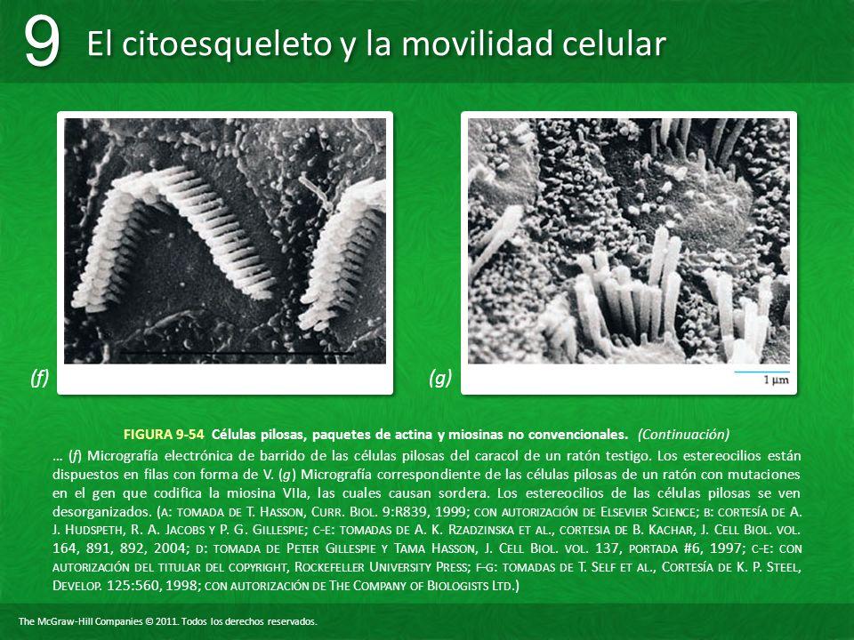 (f) (g) FIGURA 9-54 Células pilosas, paquetes de actina y miosinas no convencionales. (Continuación)