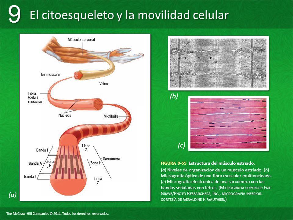 FIGURA 9-55 Estructura del músculo estriado.
