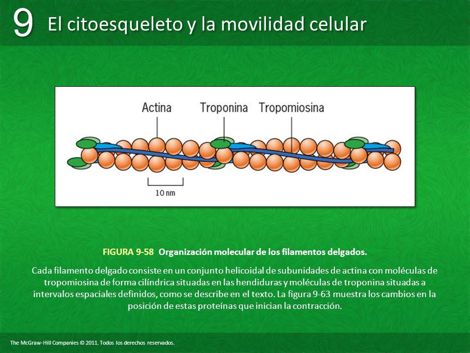 FIGURA 9-58 Organización molecular de los filamentos delgados.