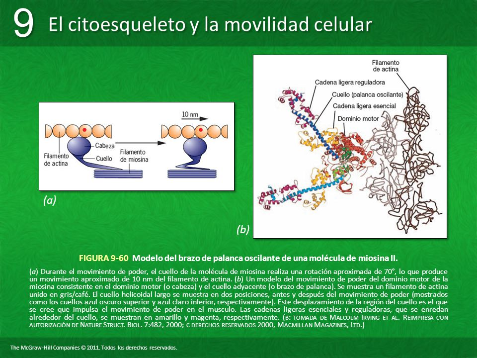 (a) (b) FIGURA 9-60 Modelo del brazo de palanca oscilante de una molécula de miosina II.