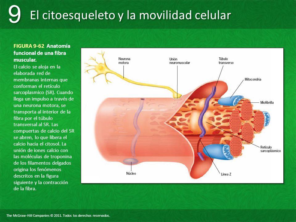 FIGURA 9-62 Anatomía funcional de una fibra muscular.