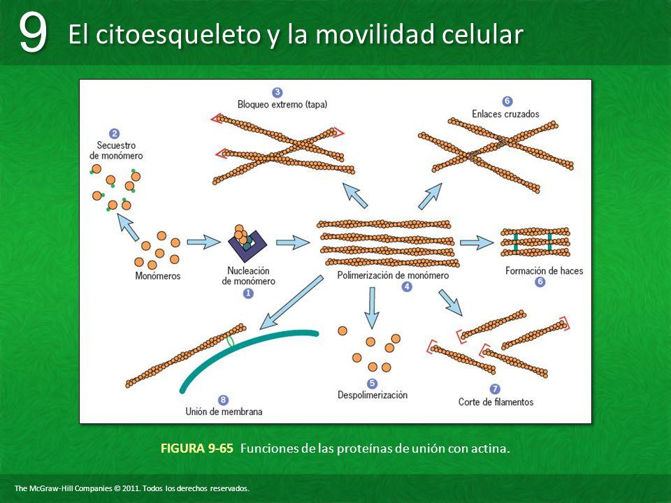 FIGURA 9-65 Funciones de las proteínas de unión con actina.
