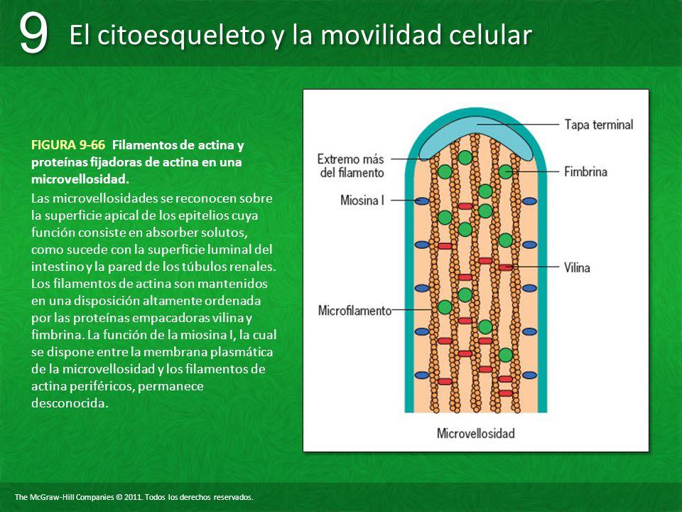 FIGURA 9-66 Filamentos de actina y proteínas fijadoras de actina en una microvellosidad.