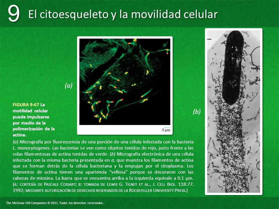 (a) FIGURA 9-67 La motilidad celular puede impulsarse por medio de la polimerización de la actina. (b)