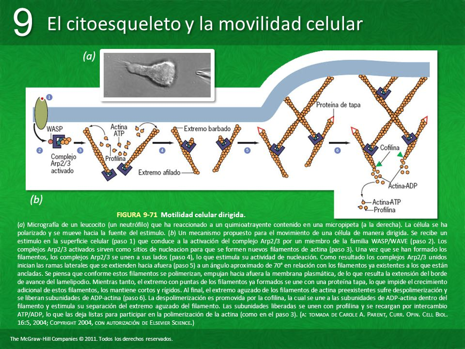 FIGURA 9-71 Motilidad celular dirigida.
