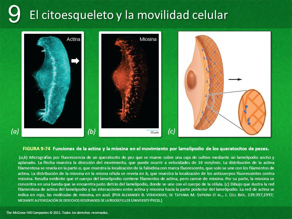 (a) (b) (c) FIGURA 9-74 Funciones de la actina y la miosina en el movimiento por lamelipodio de los queratocitos de peces.