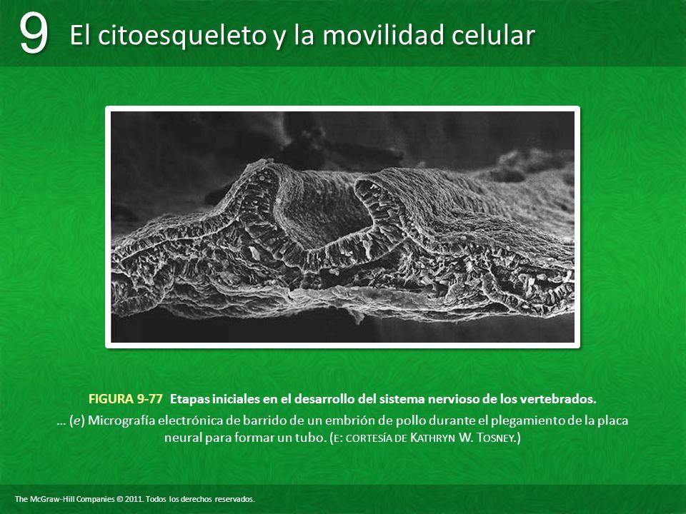 FIGURA 9-77 Etapas iniciales en el desarrollo del sistema nervioso de los vertebrados.