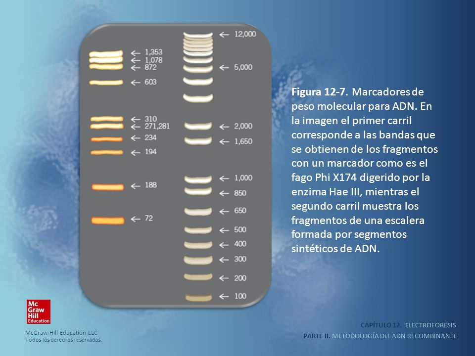 Figura 12-7. Marcadores de peso molecular para ADN