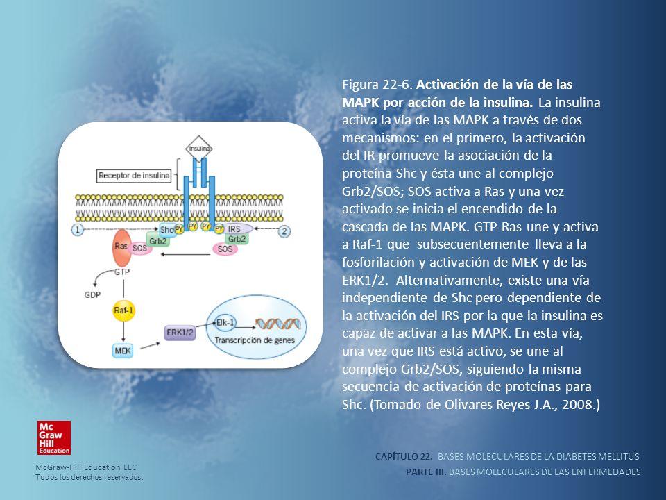 Figura 22-6. Activación de la vía de las MAPK por acción de la insulina. La insulina activa la vía de las MAPK a través de dos mecanismos: en el primero, la activación del IR promueve la asociación de la proteína Shc y ésta une al complejo Grb2/SOS; SOS activa a Ras y una vez activado se inicia el encendido de la cascada de las MAPK. GTP-Ras une y activa a Raf-1 que subsecuentemente lleva a la fosforilación y activación de MEK y de las ERK1/2. Alternativamente, existe una vía independiente de Shc pero dependiente de la activación del IRS por la que la insulina es capaz de activar a las MAPK. En esta vía, una vez que IRS está activo, se une al complejo Grb2/SOS, siguiendo la misma secuencia de activación de proteínas para Shc. (Tomado de Olivares Reyes J.A., 2008.)