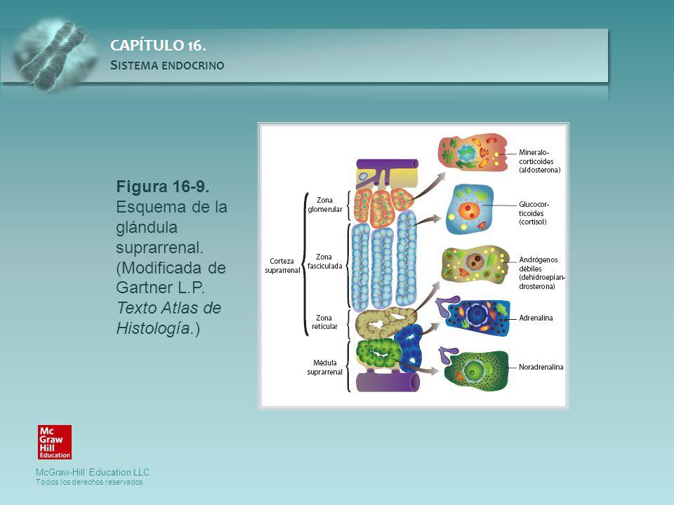 Figura 16-9. Esquema de la glándula suprarrenal