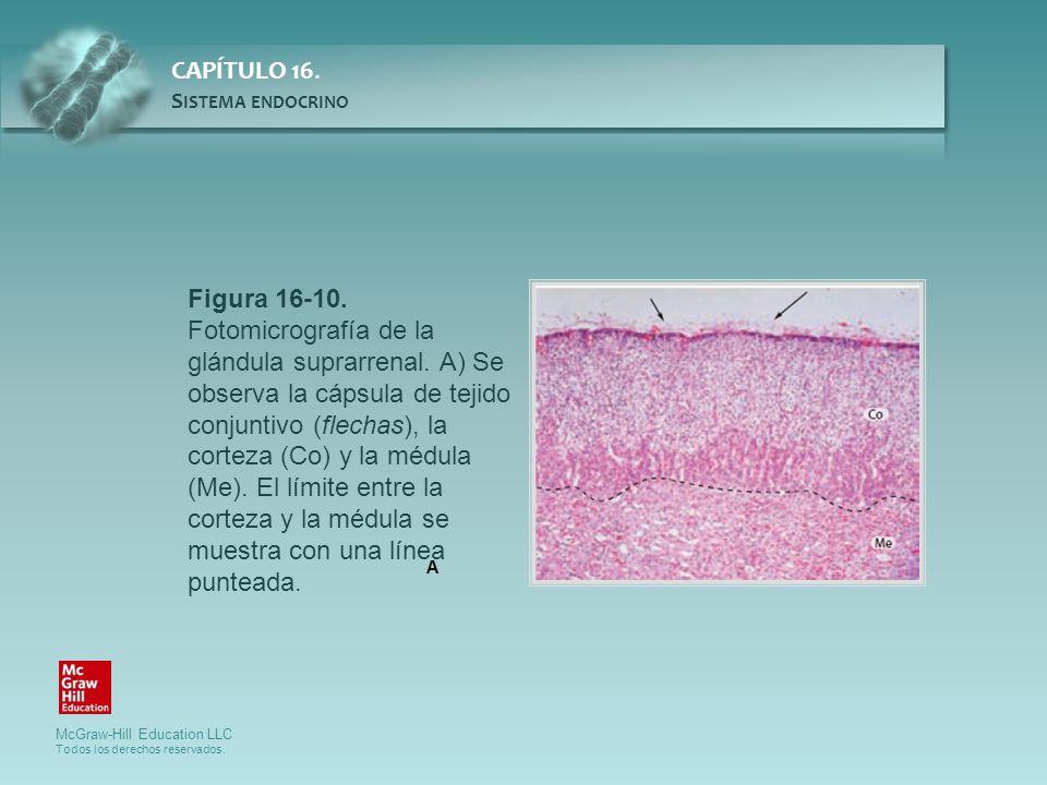 Figura 16-10. Fotomicrografía de la glándula suprarrenal