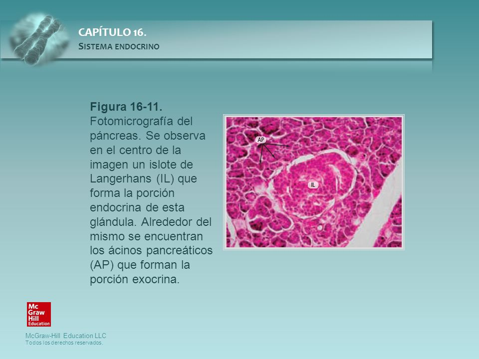 Figura 16-11. Fotomicrografía del páncreas