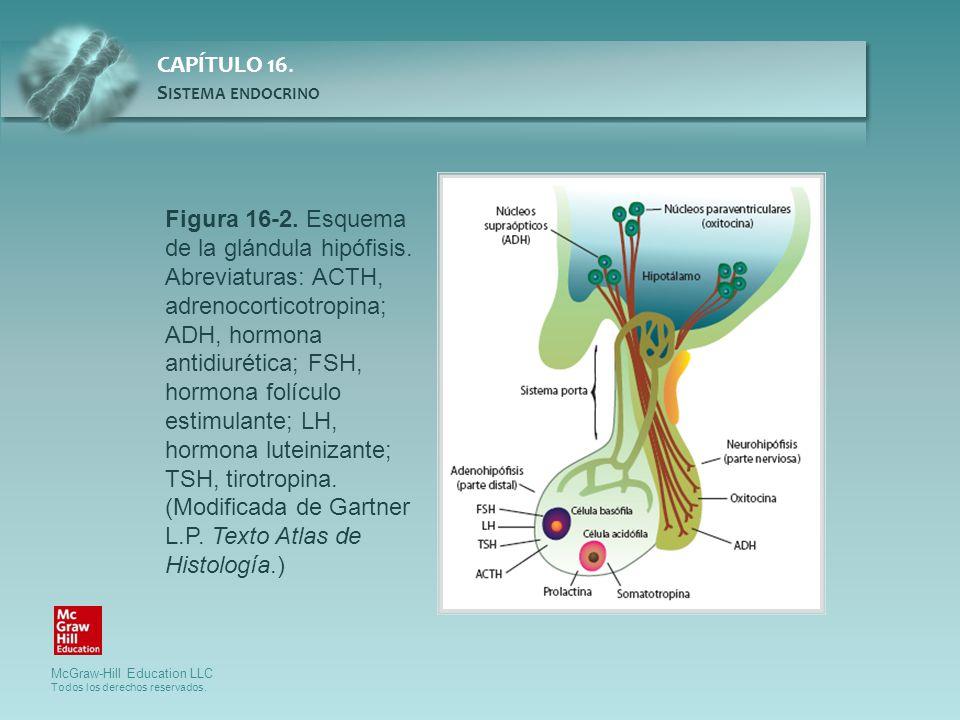 Figura 16-2. Esquema de la glándula hipófisis