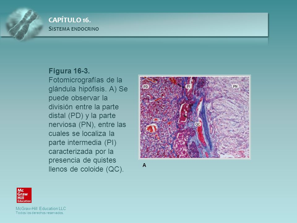 Figura 16-3. Fotomicrografías de la glándula hipófisis. A) Se