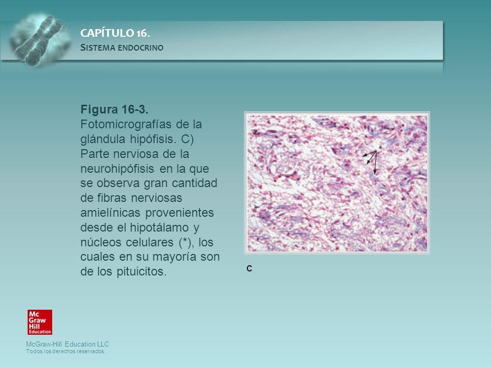 Figura 16-3. Fotomicrografías de la glándula hipófisis