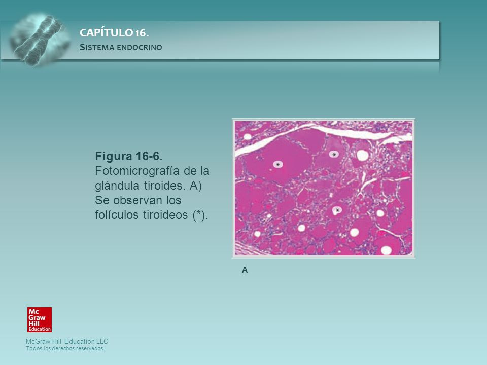 Figura 16-6. Fotomicrografía de la glándula tiroides