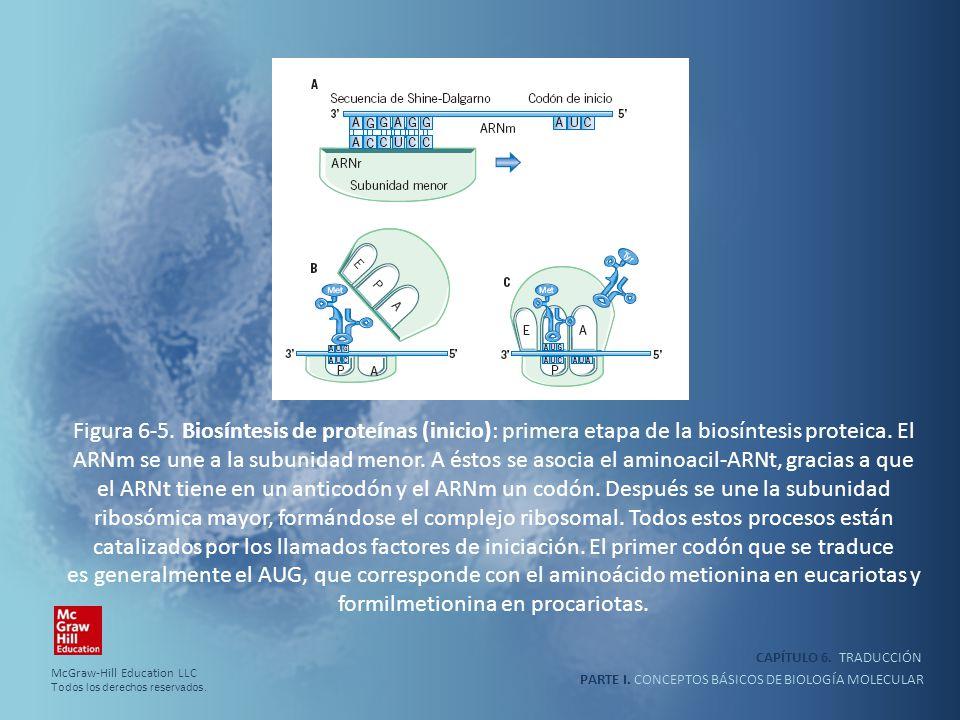 Figura 6-5. Biosíntesis de proteínas (inicio): primera etapa de la biosíntesis proteica. El ARNm se une a la subunidad menor. A éstos se asocia el aminoacil-ARNt, gracias a que el ARNt tiene en un anticodón y el ARNm un codón. Después se une la subunidad ribosómica mayor, formándose el complejo ribosomal. Todos estos procesos están catalizados por los llamados factores de iniciación. El primer codón que se traduce